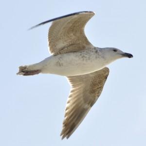 Seagull Jonathan